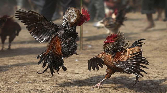 Adu Ayam Taji Online Uang Asli