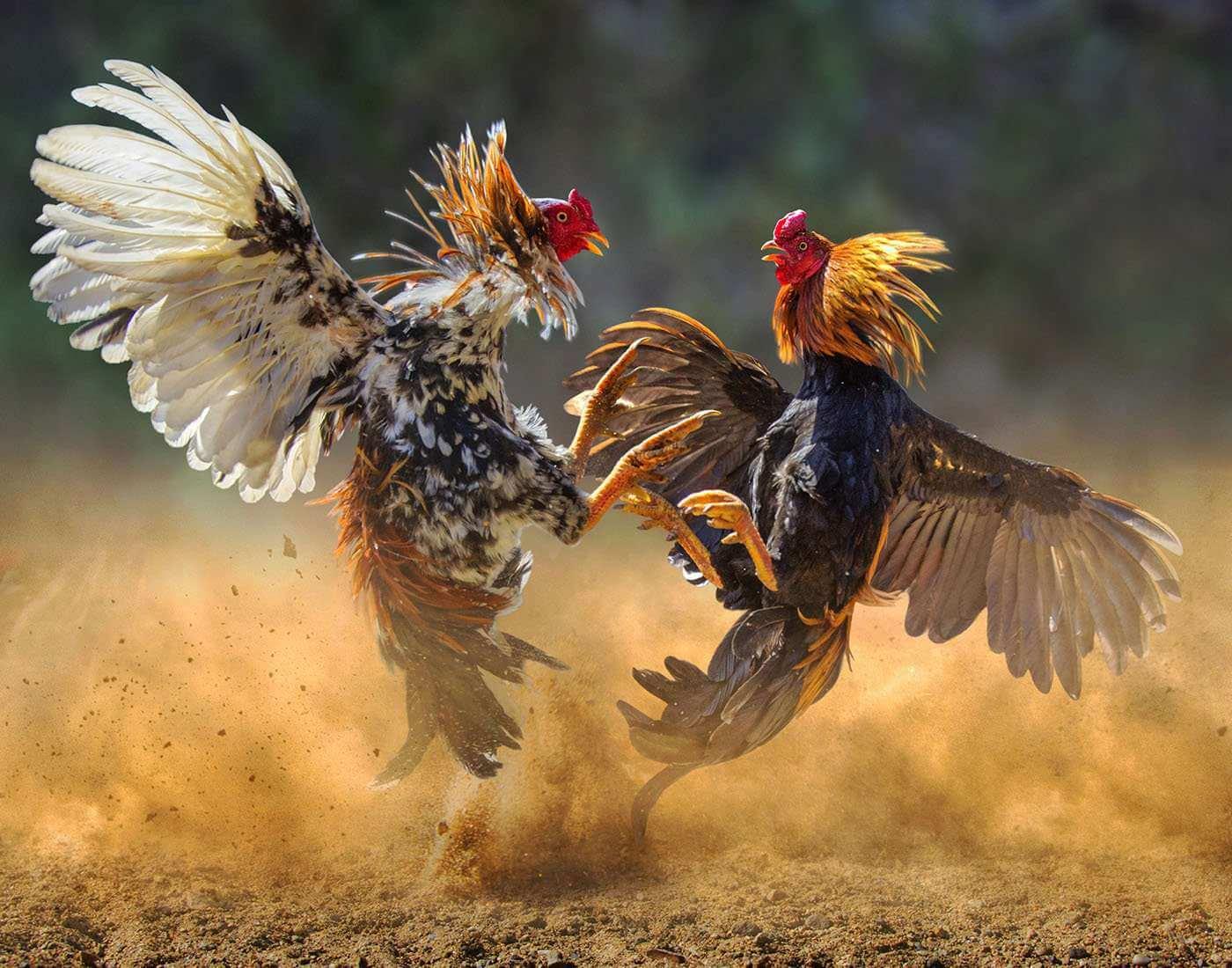 Agen Permainan Adu Ayam Taji Online